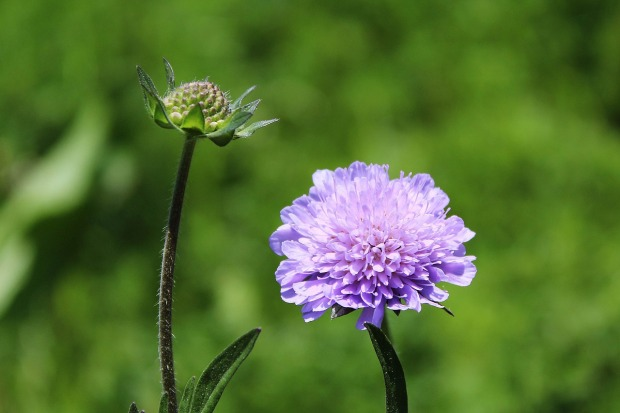 glossy-scabious-1383821_1280