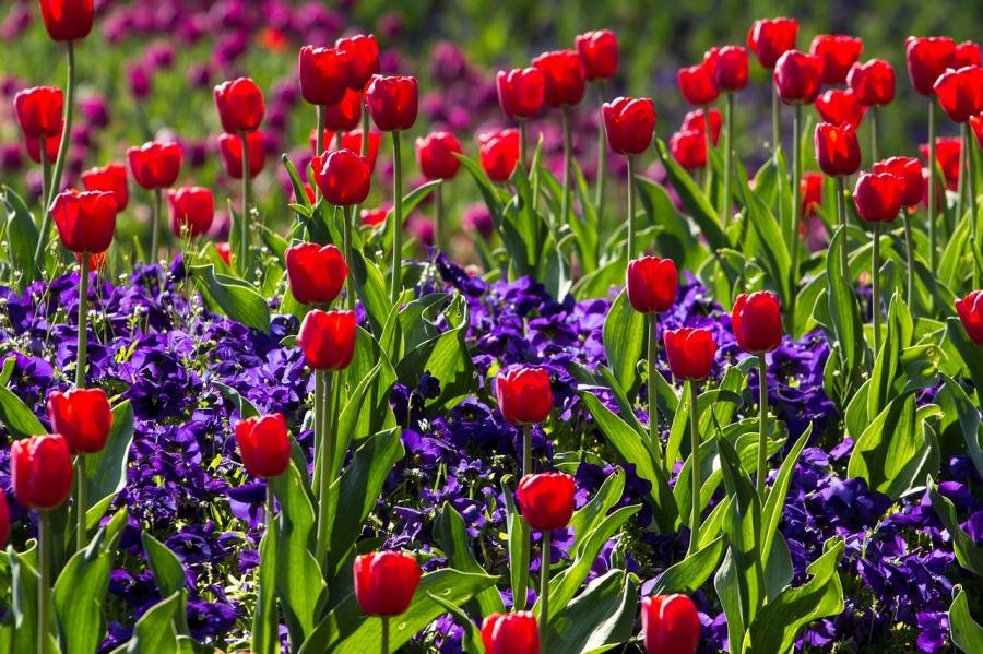 tulips-757144_1280